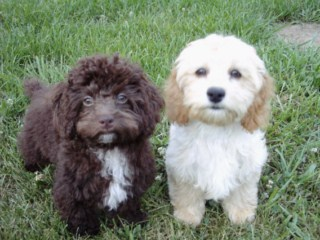 Previous Cockapoo Puppies